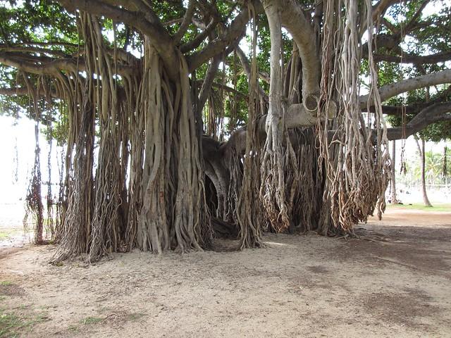 Banyan Tree - Oahu