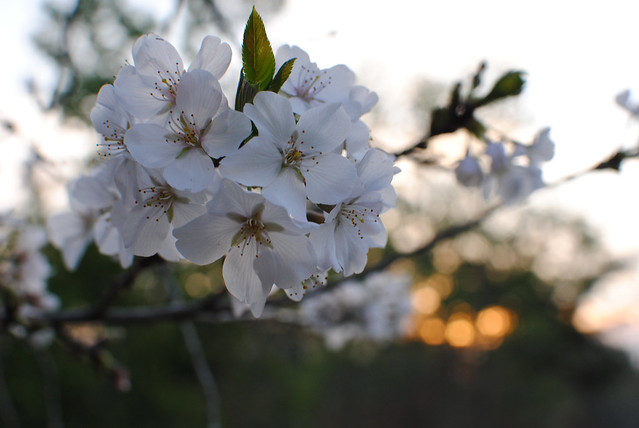 Blossoms & Sunset