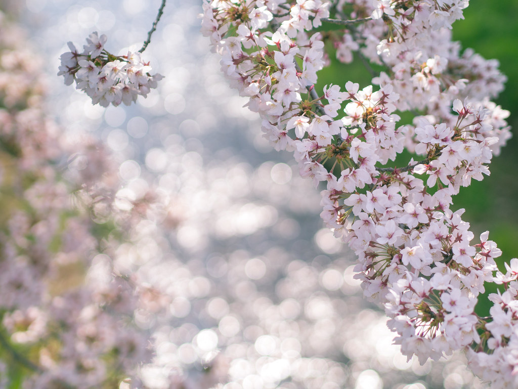 The cherry blossom season has come