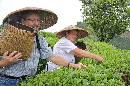 Tea picking 3