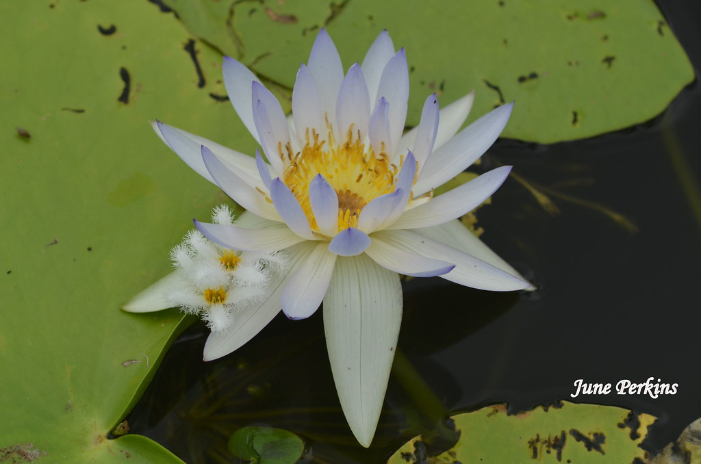 lotus_flower3