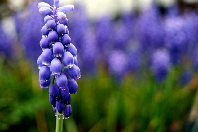 Grape Hyacinth 4