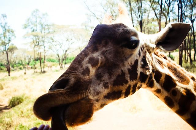 Giraffe Centre (21)