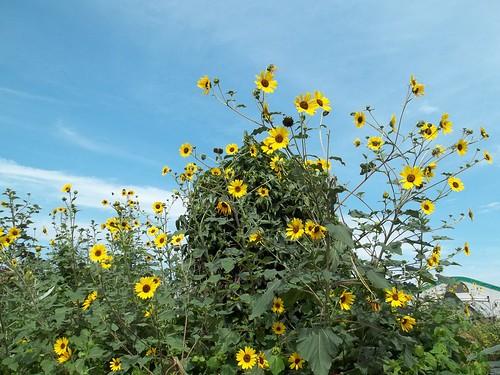 Artichoke and Sunflowers