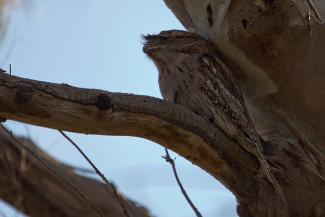 Tawny Frogmouth 2012-05-01 (_MG_7241)