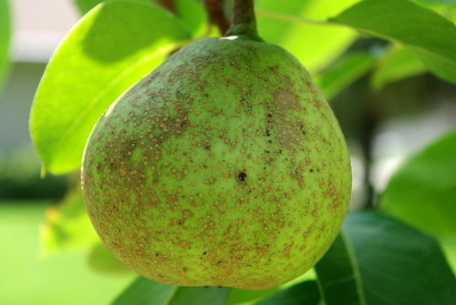 backyard pears