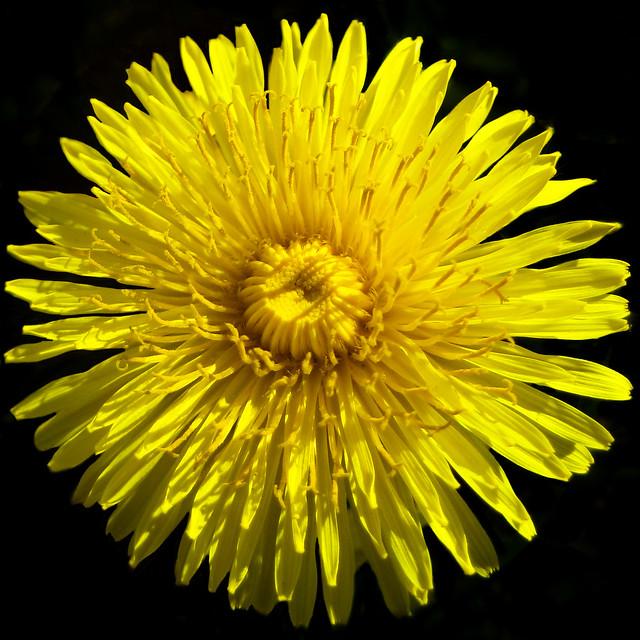 Sunny dandelion - Pissenlit ensoleillé by Monteregina (Nicole), on Flickr