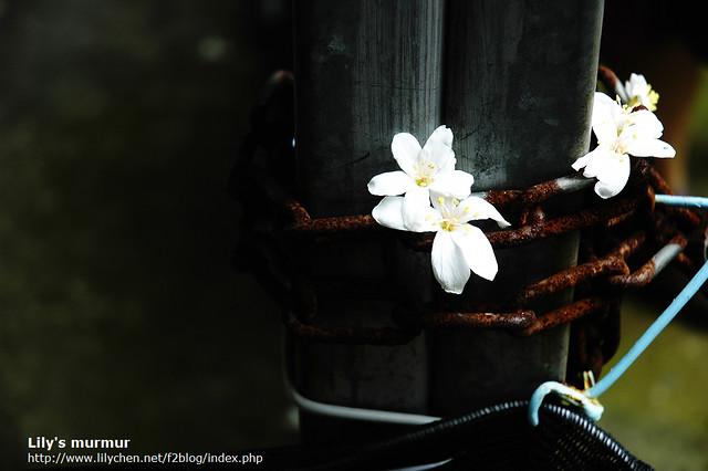 桐花與生鏽的鐵鍊,有種衝突的美感。