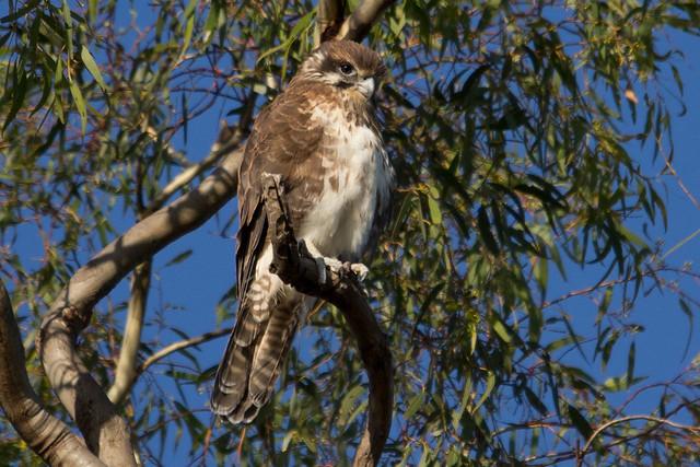 Brown Falcon 2012-04-02 (_MG_5592)