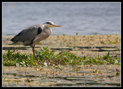 Heron by jonny.andrews65