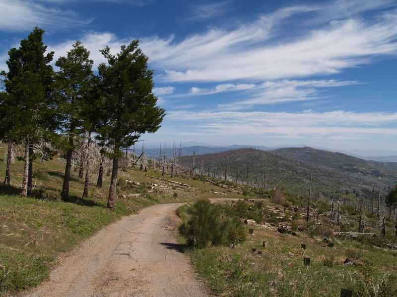 Some old pines near the top, and many newly planted ones on the right
