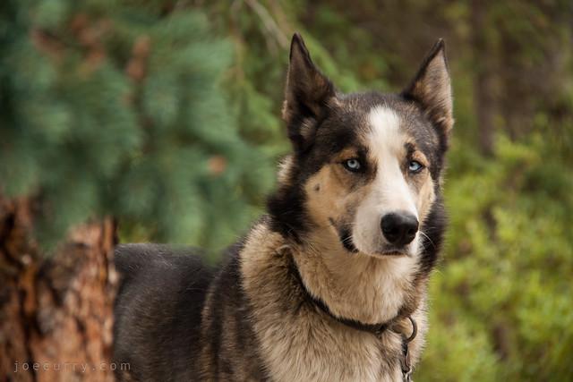 Cuya, sled dog from Denali National Park