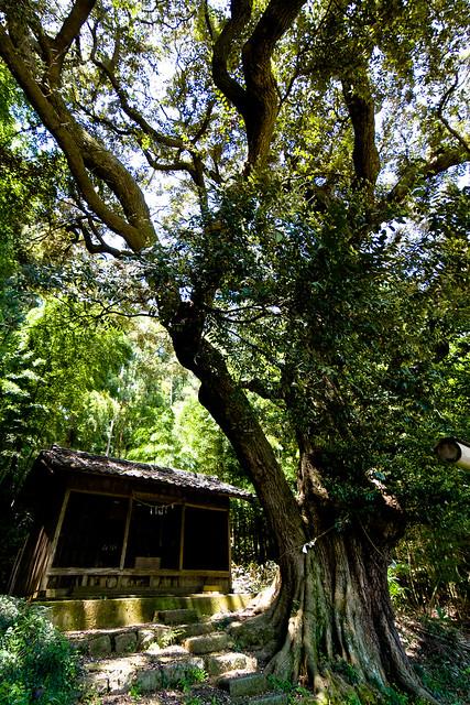 #17 The Giant Evergreen Beech of Raiden Shrine