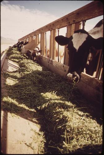 Livestock on EPA's experimental farm, May 1972