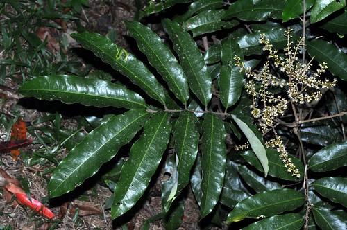 Castanospora alphandii