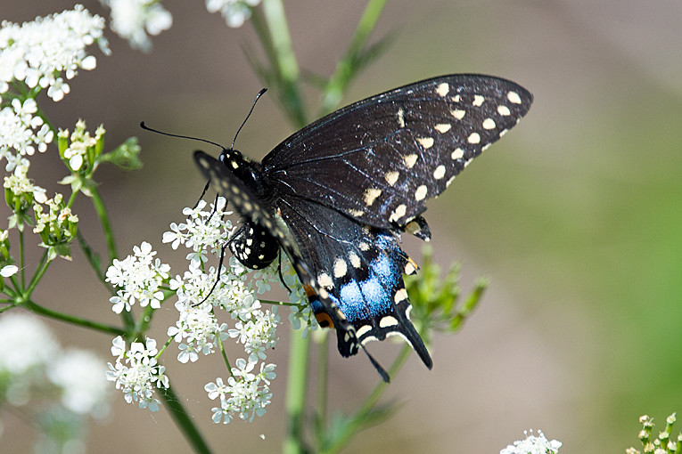 _DSC9860 Black Swallowtail Butterfly