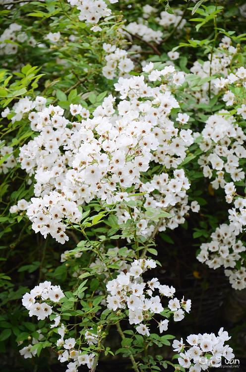 植物園野薔薇11.jpg