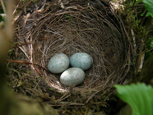 Blackbird nest and eggs