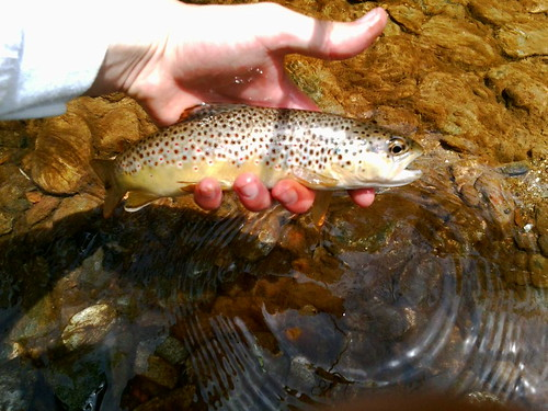Wild Brown Trout Baltimore County