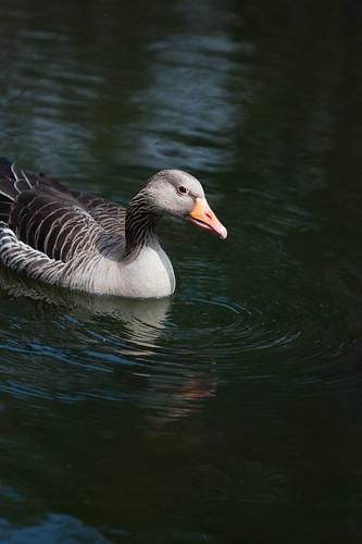 goose 6