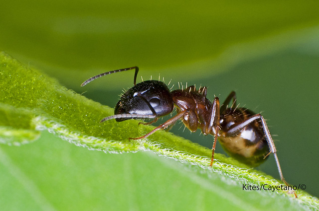 Ant from Mt. Batulao