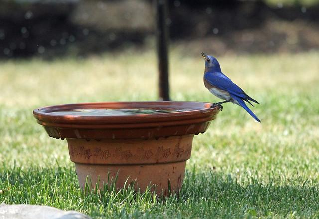 Male Bluebird on the birdbath