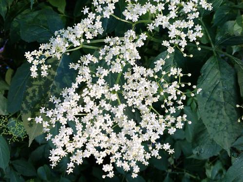 Elderflowers close up