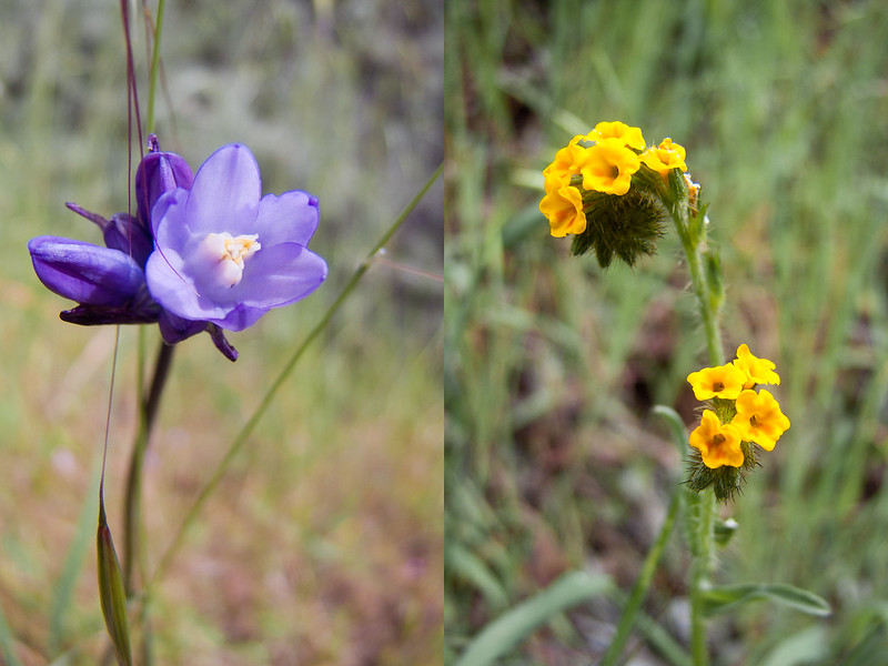 Wildflowers, Picchetti Ranch Open Space Preserve