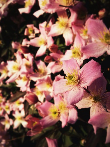 Day 180 of Project 365: Clematis by cygnoir