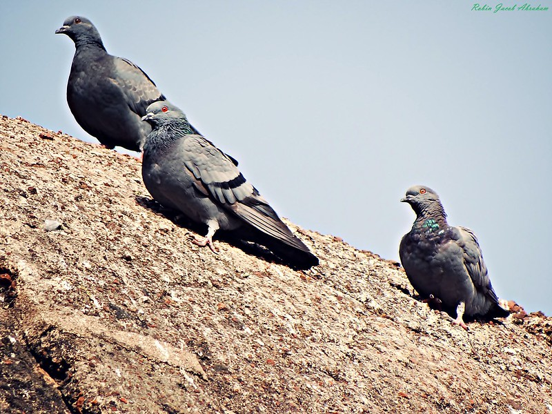 Rock Pigeons perched on the Madrasa Dome