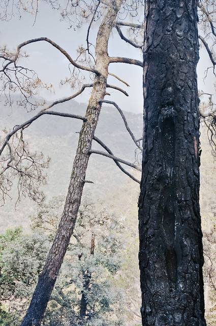 A Pine Tree - Singed by the fire - More Fires in the Himalayas - Dagshai HIlls photo photography Anoop Negi