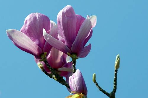 Arbres en fleurs HD-010