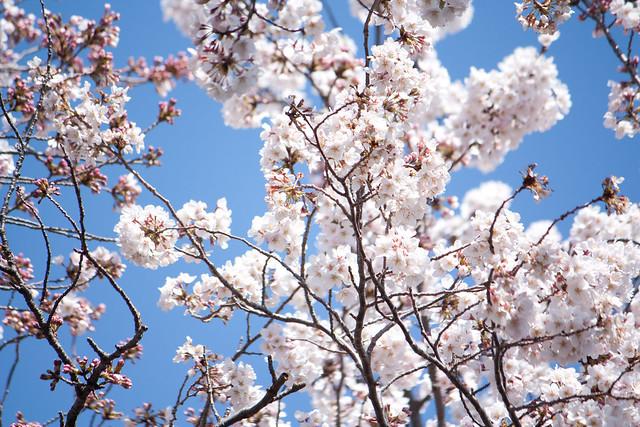 Sakura (2/6)