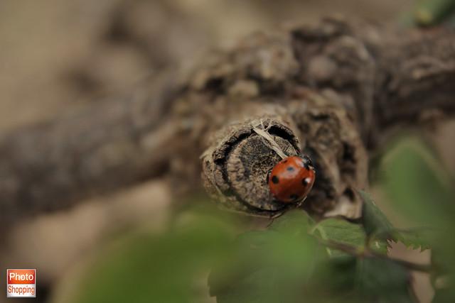 ladybird 9