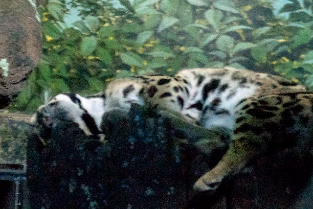 Dozing Clouded Leopard