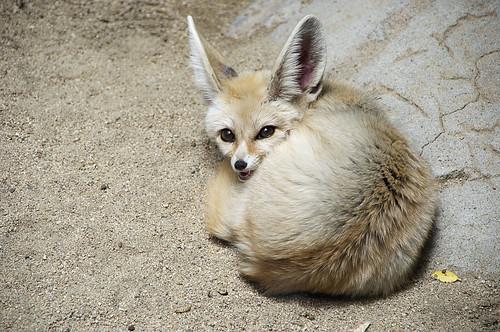 Fennec fox by leanne.black