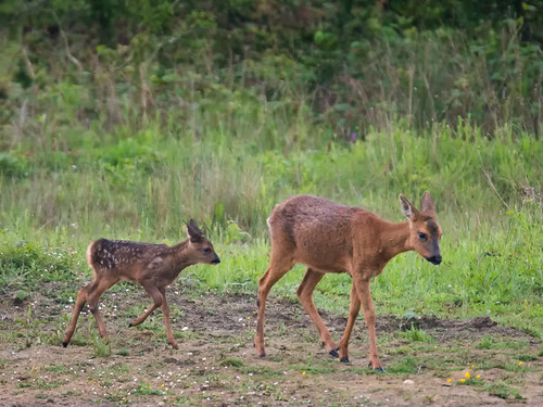 Roe-Deer and fawn