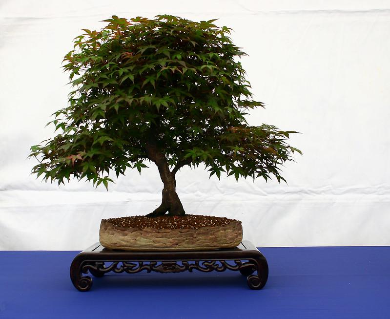 Acer Palmatum 1