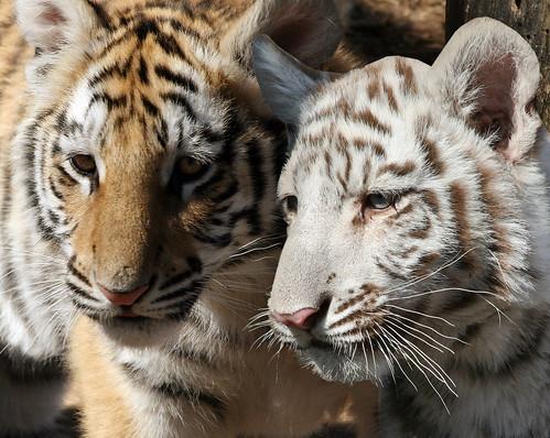 Tigers, Southwick's Zoo, Mendon