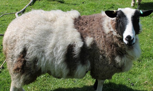 Betty before shearing