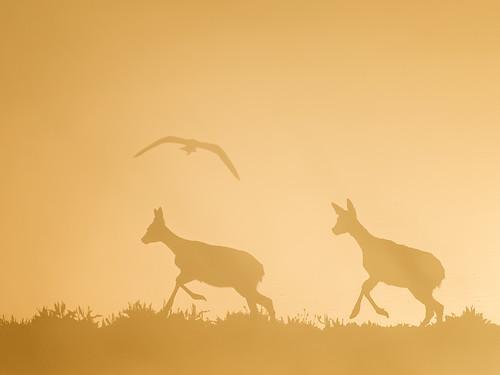 Roe deer - dawn mist