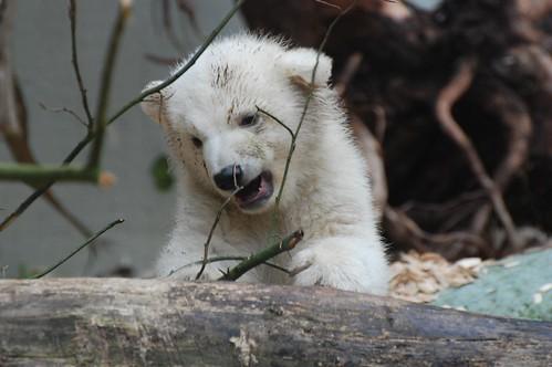 Eisbärjungtier Anori im Zoo Wuppertal