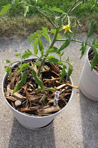 Tomato plant 2012 garden