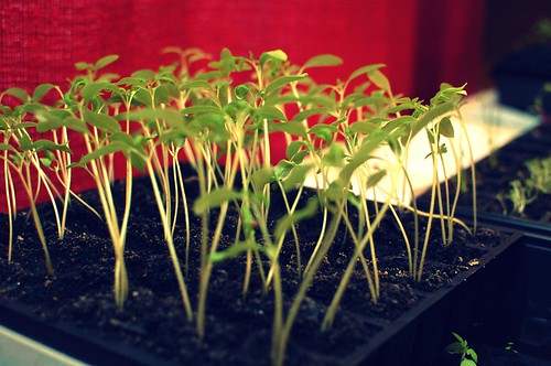 Tomato Seedlings; Two Weeks