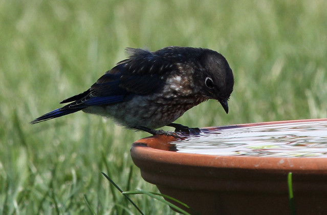 Baby Bluebird drinking