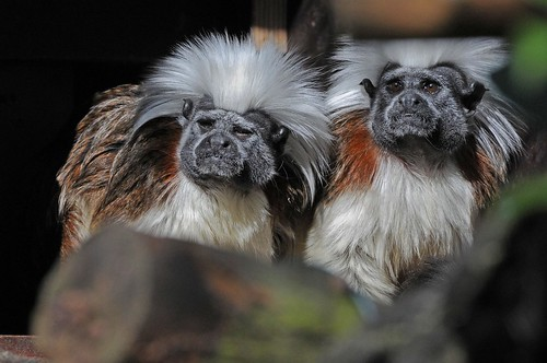 Lisztaffen im Zoo in der Wingst