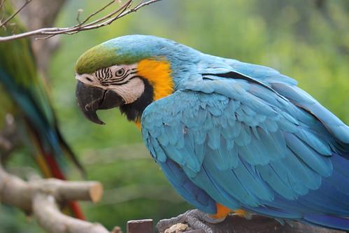 Ara / Macaw