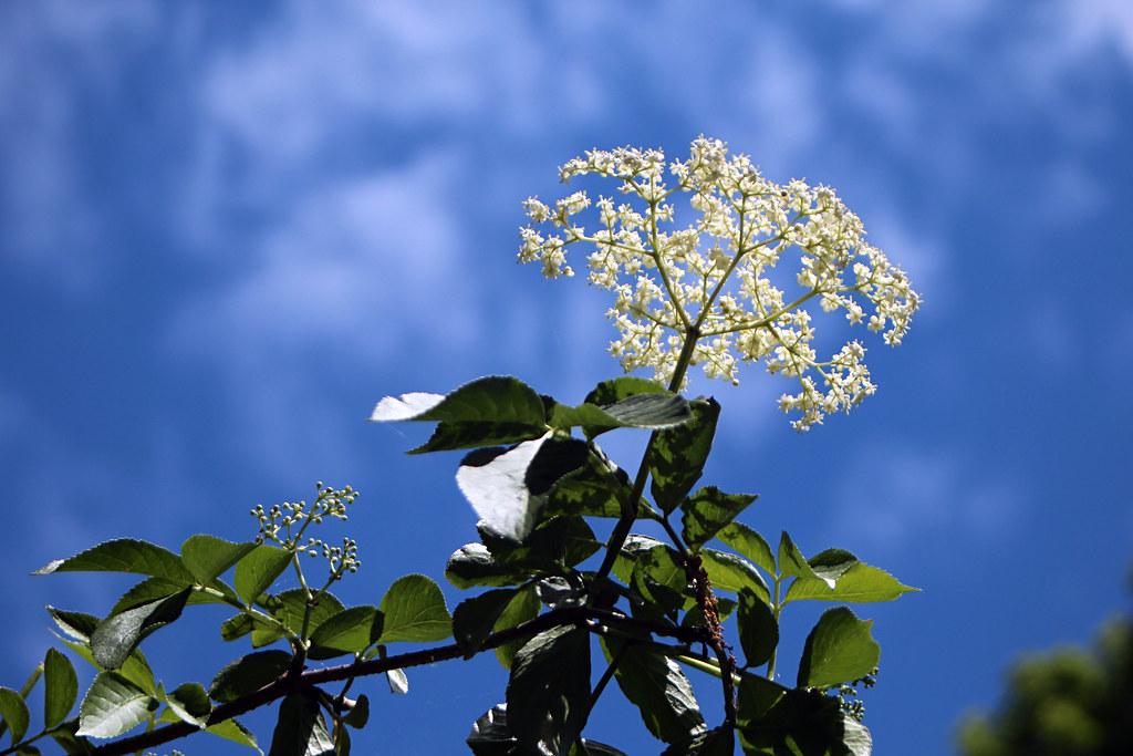 Elderberry Sky