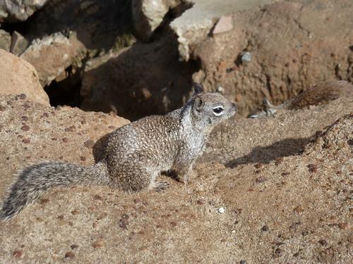 CA - SD  3-19-12 013 Children's Pool Squirrel
