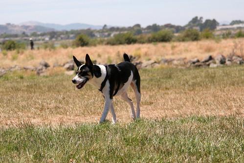 7 June 2012 Hootie, Decker Terrier